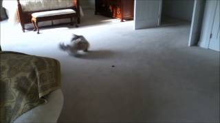 Shih Tzu Dog Lacey Running Around And Chasing Her Tail