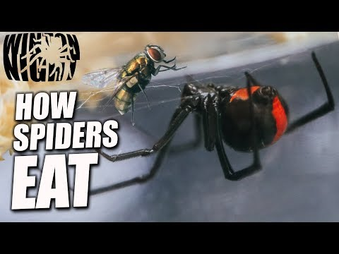 Spiders In Australia - How Does A Spider EAT? (Redback Spider) Ep 2