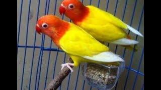 Ciri Ciri Dan Harga Burung Lovebird Cobalt Kuning Terbaru 2018
