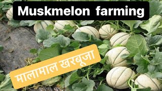 Double Profit खरबूजा खेती🤑🤑Commercial Muskmelon Farming in India | Fruit Farming AgriBusiness