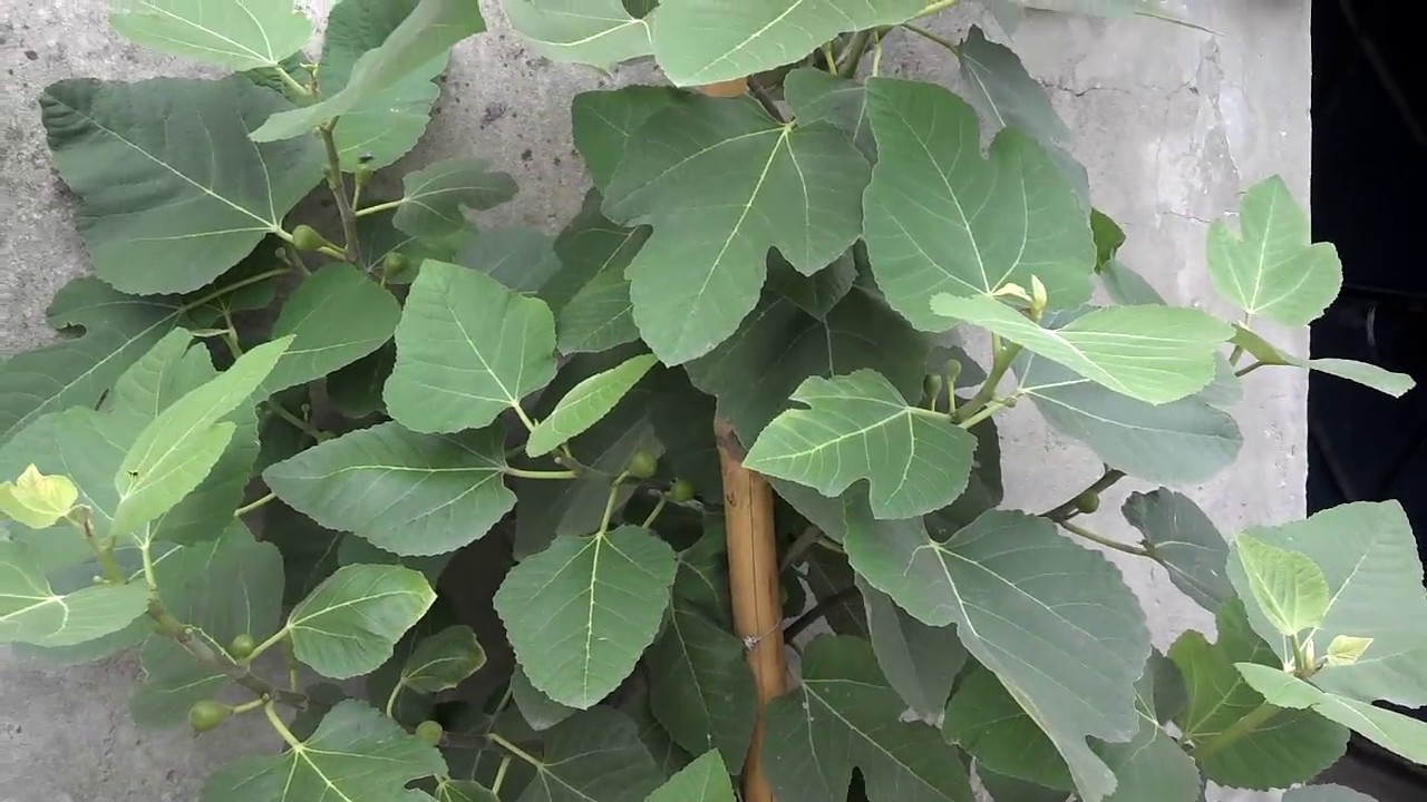 Fig Leaves Benefits In Urdu Hindi