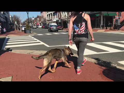 5-Month Old GSD, AvaMonroe | GSD Off Leash Training | Electronic Collar Training