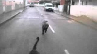 baguera (cane corso )and diva (neo mastiff ,pt - mastim napolitano)