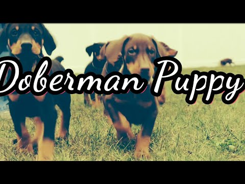Getting a Doberman Pinscher Puppy