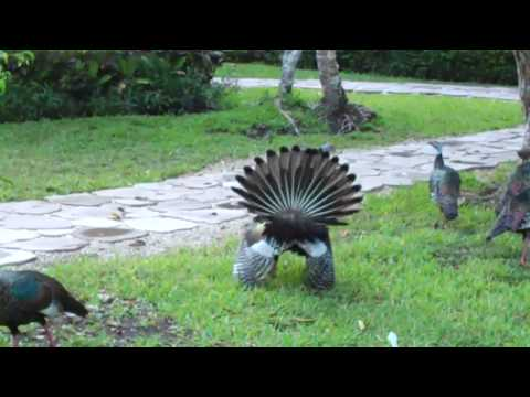 Ocellated Turkey  Strutting His Stuff - Chan Chich Lodge, BELIZE