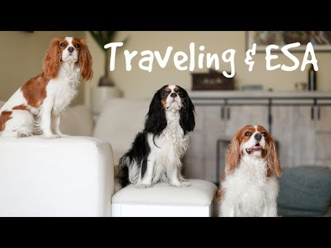 ALL ABOUT TRAVELING WITH AN ESA   Cav Mom Talks