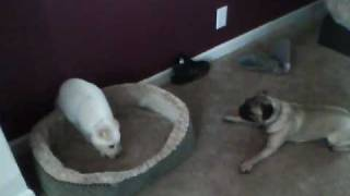 Husky Mix Lab Dont Like My Pug Mess With Him