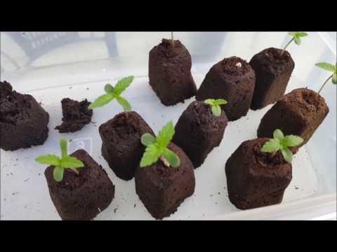 Growing Autoflowers