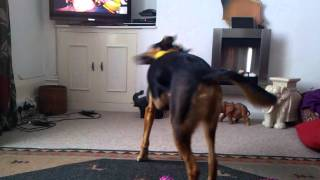 This is Eddie the New Zealand Huntaway doing his twirling with his ...