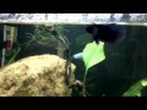 Betta Fish Cure Constipation Swim Bladder Youtube
