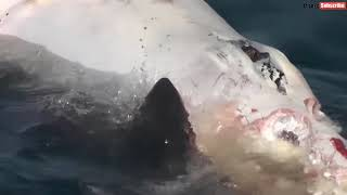 Great white sharks eat the carcass of a whale