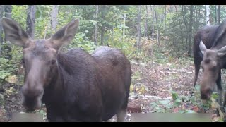 Calf Moose licks the camera... great wildlife close to home!