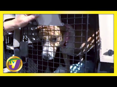 Jamaica Brown Terrier AKA Mongrel   TVJ News