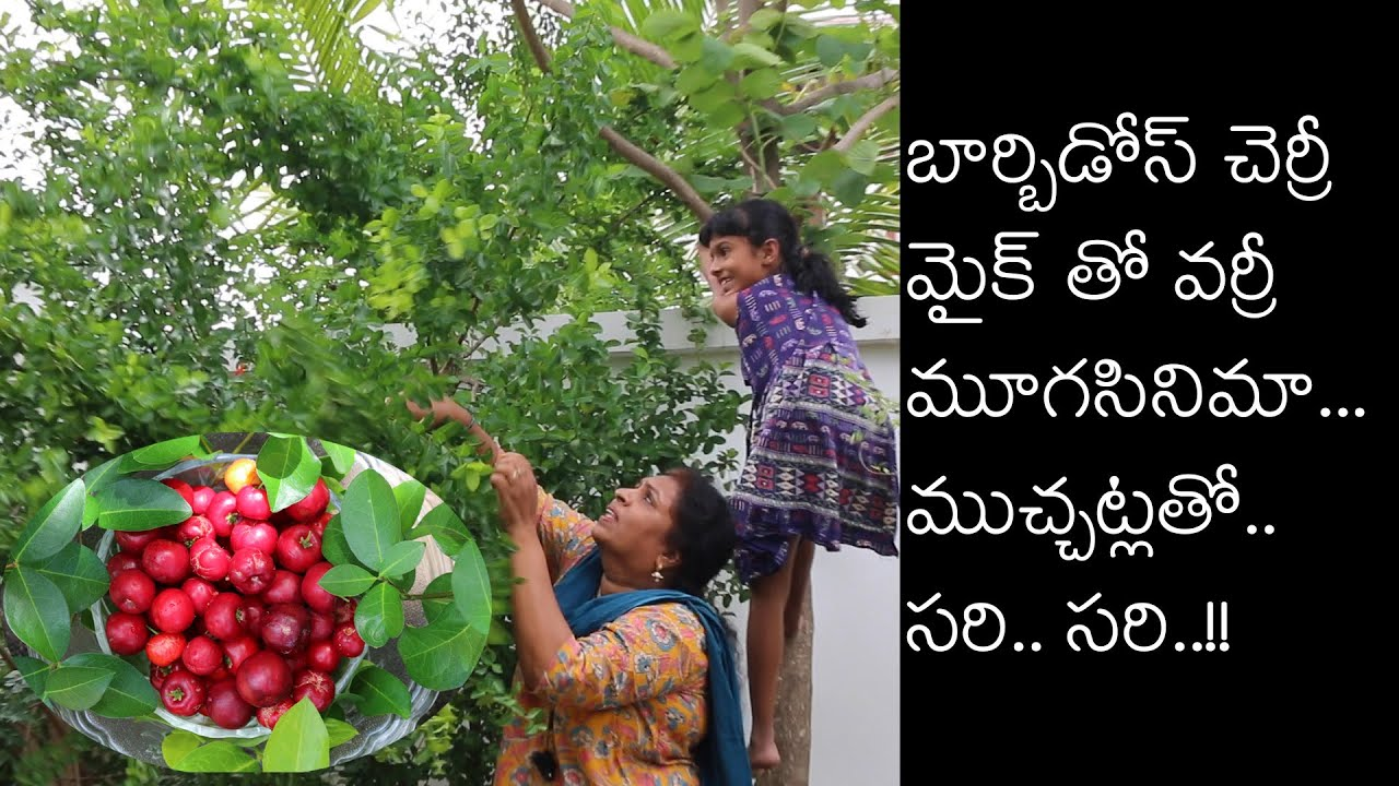 Barbados cherry/Rare fruit plants/ cherry's in my  kitchen garden / Hyderabad  kitchen garden/
