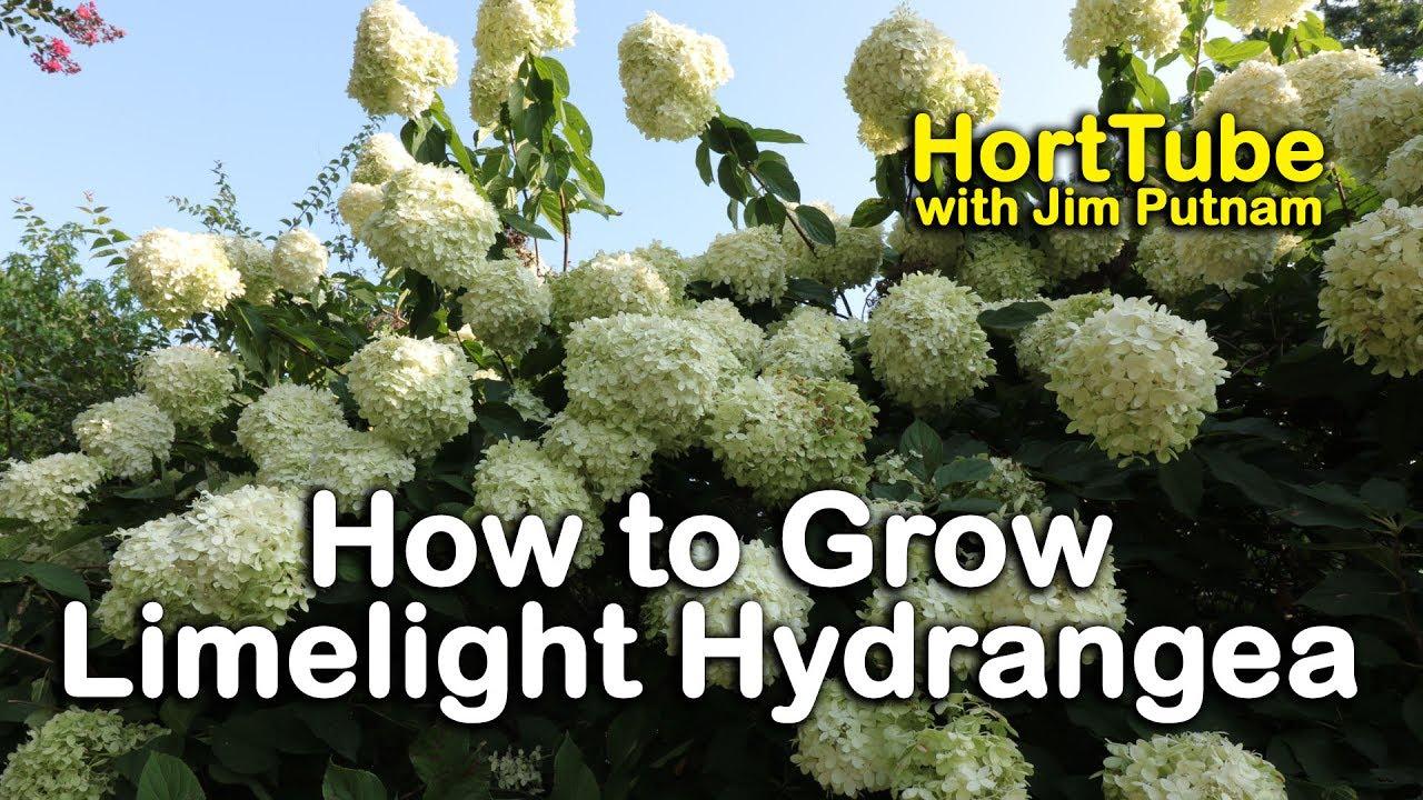 How To Grow Limelight Hydrangeas Hydrangea Paniculata Or Tree