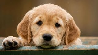Golden Retriever Puppy: How to Leash Train a Puppy