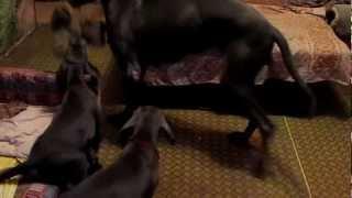 Классное видео про собак. Немецкий дог. Продам щенков немецкого дога(Продам щенков немецкого дога !!, 2013-02-25T20:20:31.000Z)
