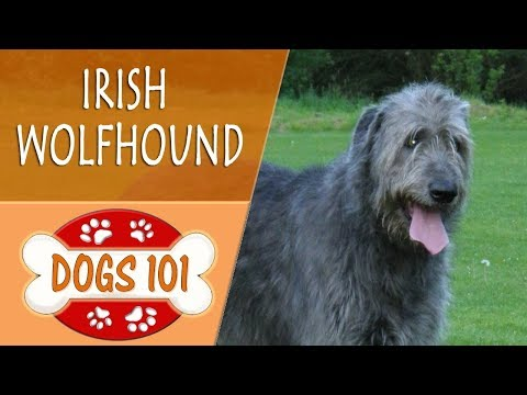 dogs-101---irish-wolfhound---top-dog-facts-about-the-irish-wolfhound