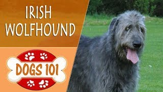 Dogs 101 - IRISH WOLFHOUND - Top Dog Facts About the IRISH WOLFHOUND