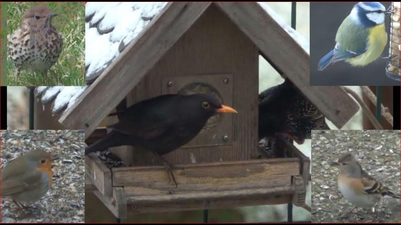 vögel am futterhaus  amsel drossel fink und star in