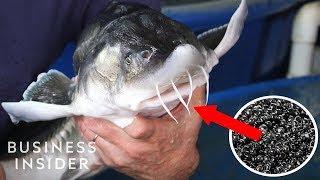 inside-america-s-only-beluga-caviar-farm