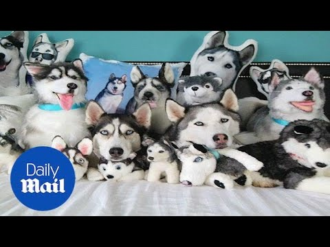 Adorable Huskies Completely Hidden In Pile Of Stuffed Toys Youtube