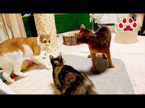 2匹の猫を相手にするのは疲れるよ【瀬戸のまや日記】Playing with two cats are hard! Cats room Miaou