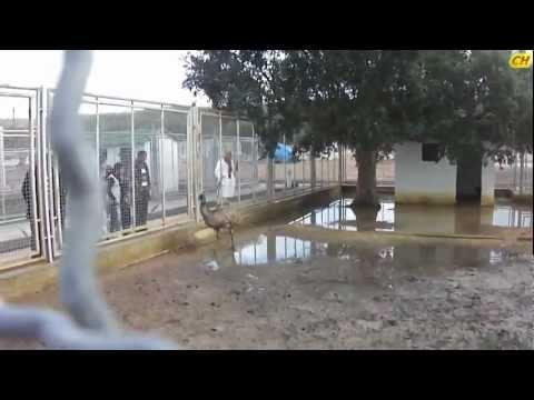 Parc animalier de Brabtia El Tarf (El kala) Autruche de l'Afrique