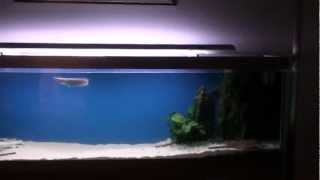 Large Aquarium With Stingrays, Arowana, Remote Control And Granite Rock Features
