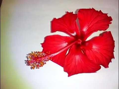 China rose flower - YouTube