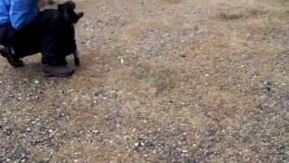 11 Week American Cocker Spaniel Puppy Retrieving A Chukar