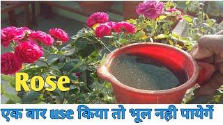 Best fertilizer for roses in summer