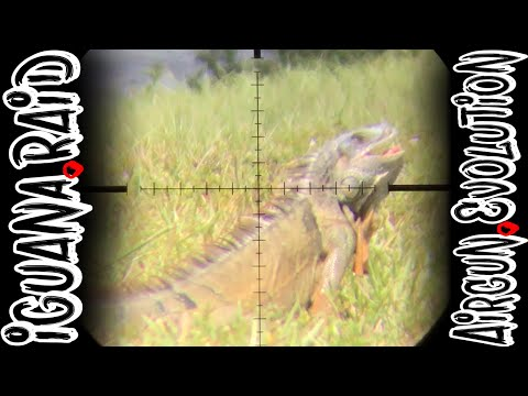 Iguana Pest Control  | South Florida Iguana Invasion | Airgun Evolution