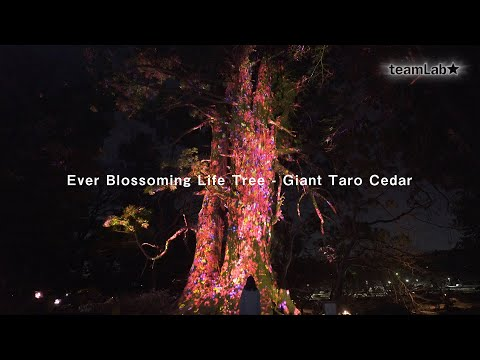 Ever Blossoming Life Tree - Giant Taro Cedar