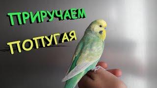 📚 Как приручить волнистого попугая
