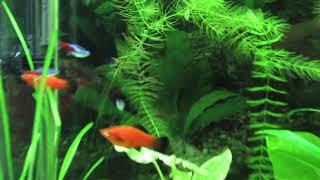 Рождение  Неонов в общем аквариуме