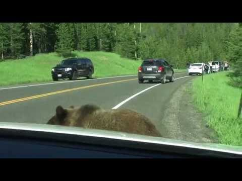 Yellowstone Grizzly Bear - 'Attacks' Car