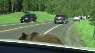 "Yellowstone Grizzly Bear - ""Attacks"" Car"