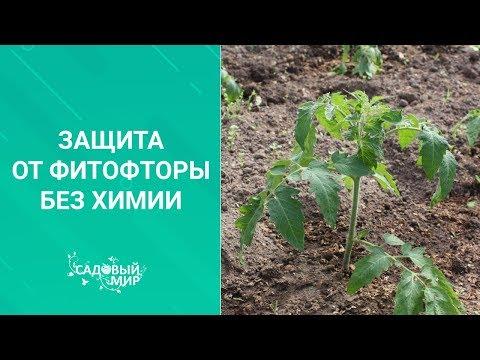 Защита и лечение томатов от фитофтороза БЕЗ ХИМИИ!
