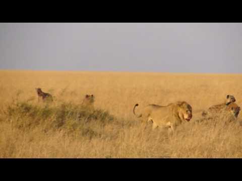 Lion vs Hyenas in Masai Mara Part 2