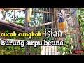 Cucak Cungkok Gacor Isian Suara Burung Sirpu Betina Kimanchannel  Mp3 - Mp4 Download