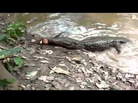 """[HD]""""Cá chình điện Amazon phóng điện giật chết cá sấu"""""""