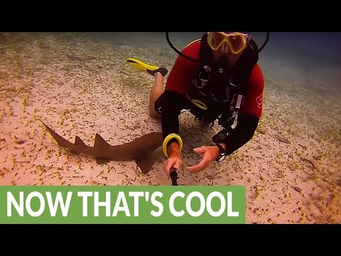 Baby Shark Becomes Attached To Diver