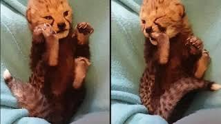 """Cheetah baby """"Zeno"""""""