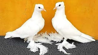Unique Amazing Fancy Pigeon Breeds | Shahin fancy pigeon Loft | Veracities Fancy Pigeon Collection