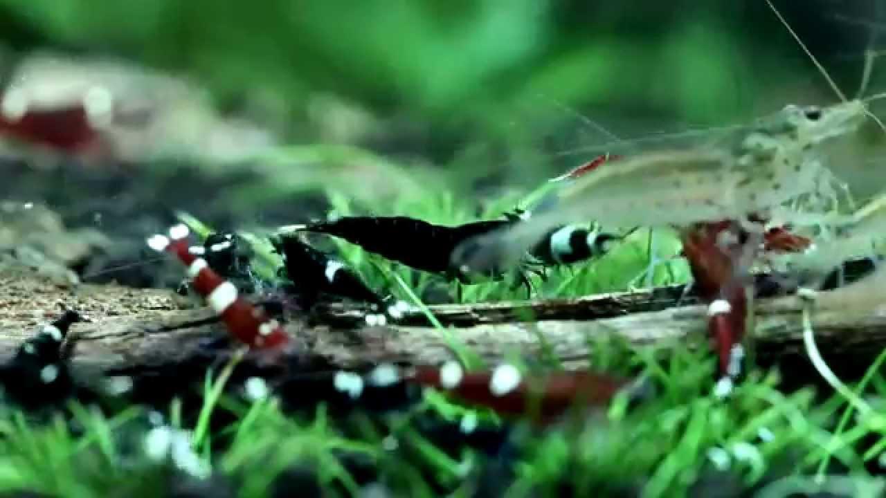 Taiwan Bee shrimp feeding time - YouTube