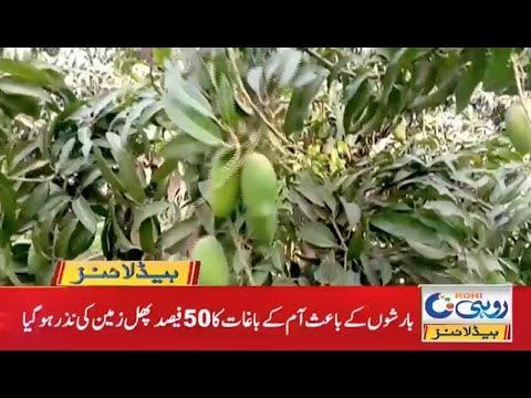 Rain Damage Mango Gardens   7am News Headlines   31 May 2021   Rohi