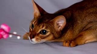 Порода кошек. Абиссинская кошка.Красивая,обаятельная кошка с большими глазами