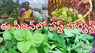 #RainySeason#FirstHarvest#Organic//ఈ సీజన్లో పస్ట్ హార్వెస్ట్ ఆర్గానిక్ కూరగాయలు ఆకుకూరలు//