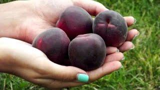 видео Абрикос Чёрный бархат — фото и описание сорта, достоинства и недостатки гибрида